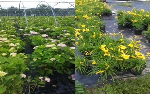 Plants Planting Hydrangeas Day Lilies