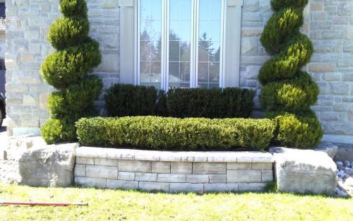 Spiral Cedar  Boxwood Pruning
