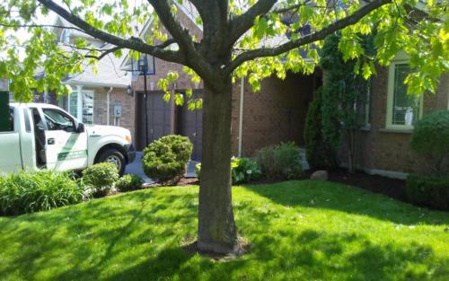 front yard shrub pruning