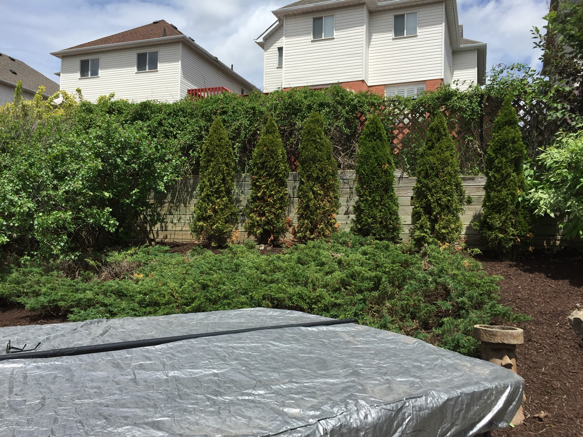 Backyard Ideas Cedar Hedge Tree Care