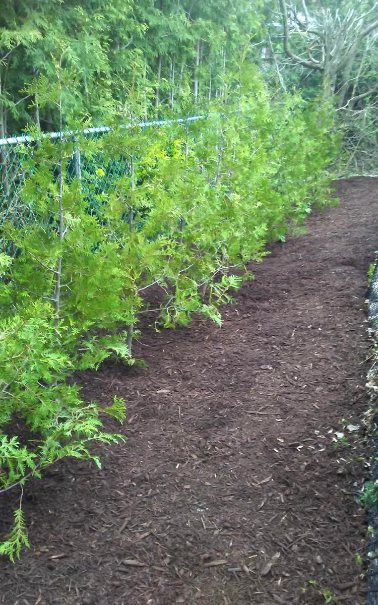 Hedging Cedar Planting and Mulching