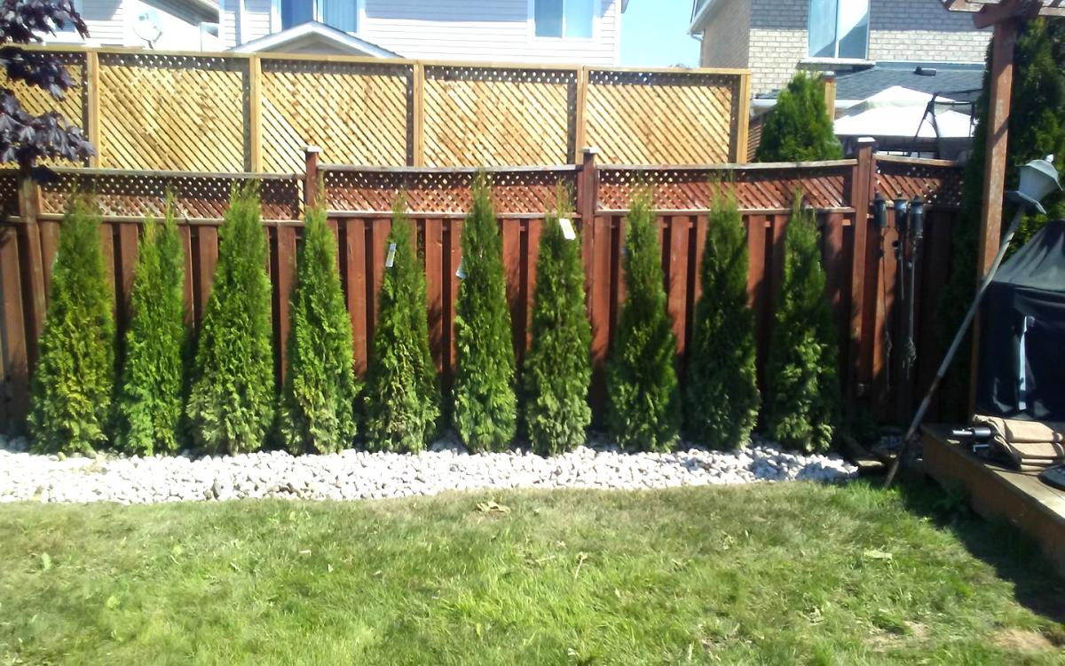 Privacy Cedar Planting  River Stone2