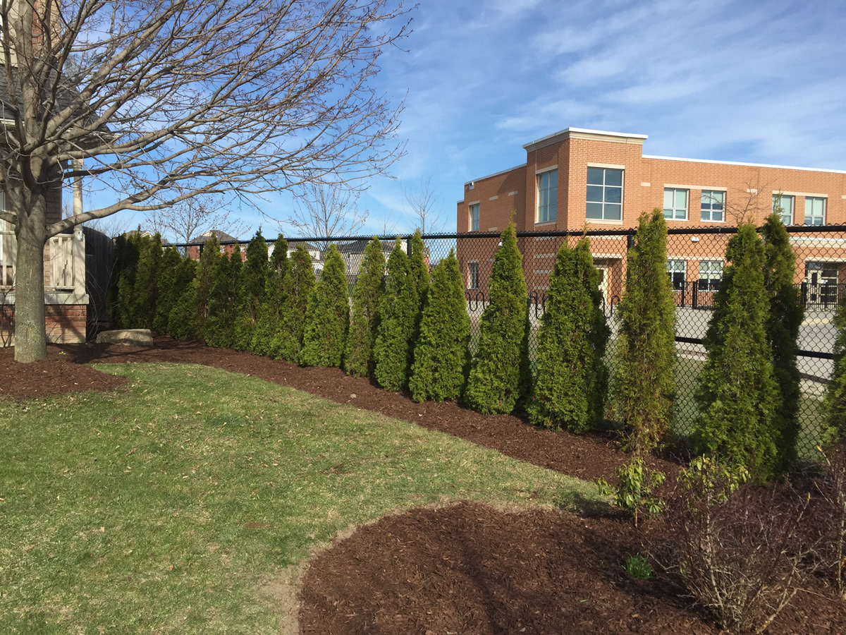 Side Yard Cedar Hedge Planting Pruning 1