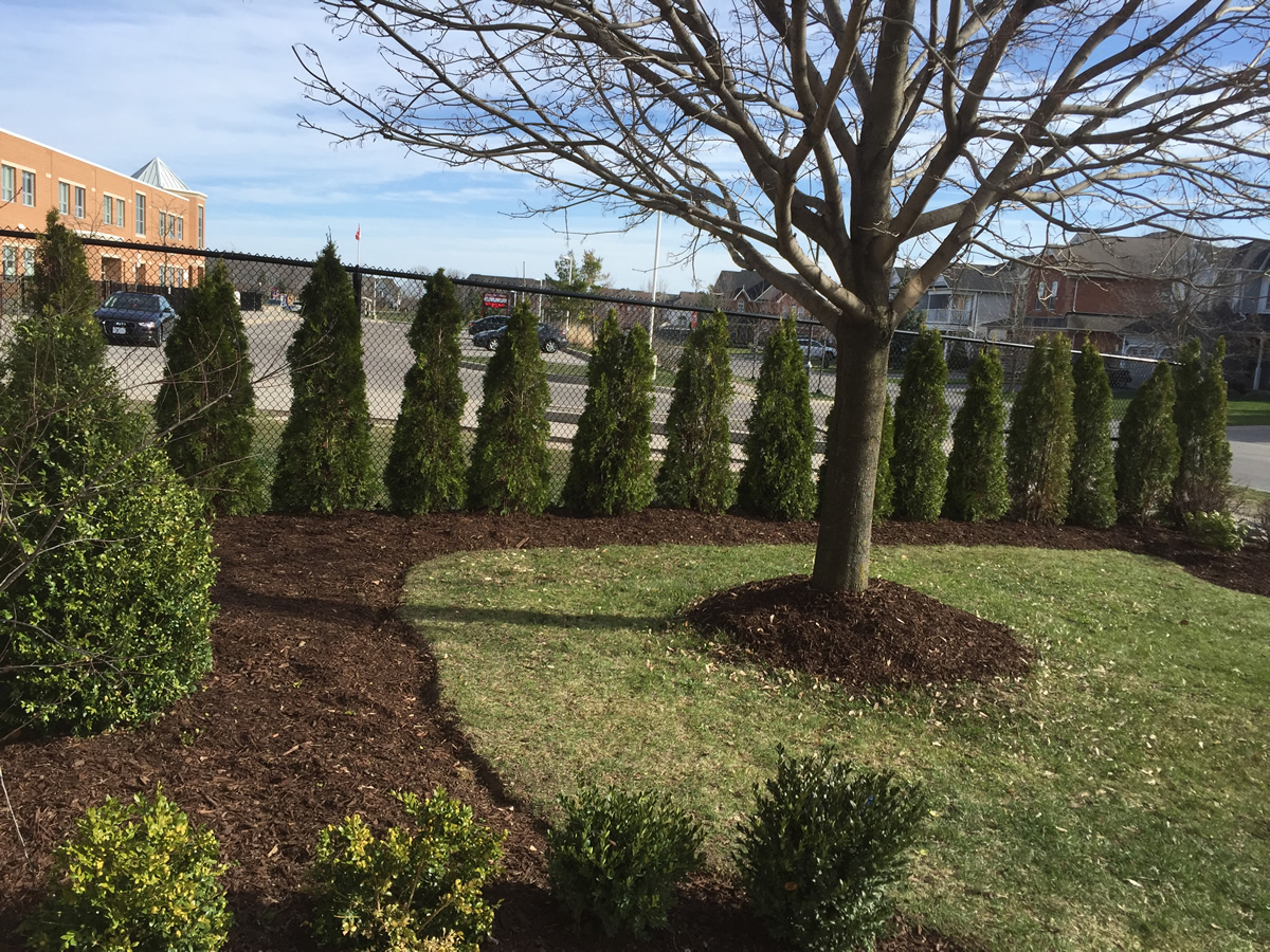 Side Yard Cedar Hedge Planting Pruning 2