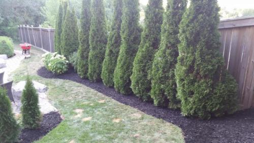 Tree Care Cedar Hedge Planting Pruning 2
