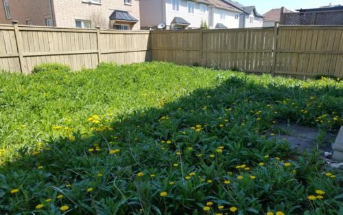 backyard sod before